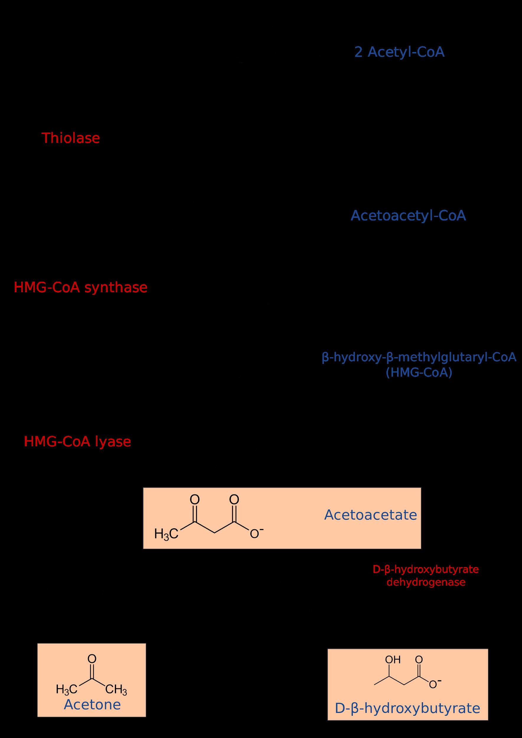 Ketogenesis steps