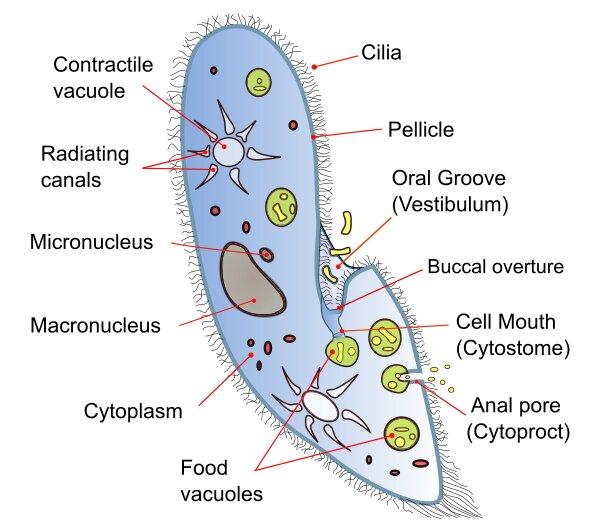 Paramoecium