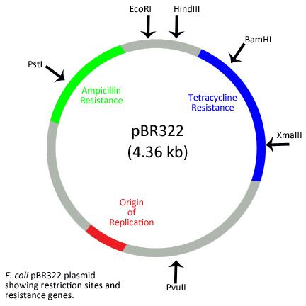 pBR322 Plasmid