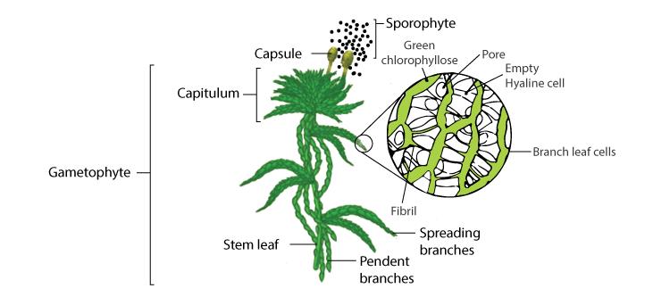 Sphagnum Structure