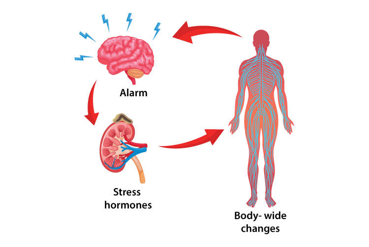 stress hormones in humans