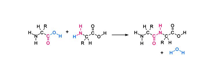 Formation of peptide bond