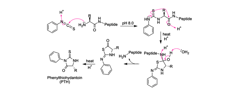 Degradation of Peptide Bonds Using Proteases Enzymes as a Catalyst