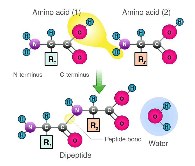 Peptide Bond Formation