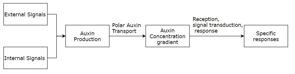 Auxin Mechanism