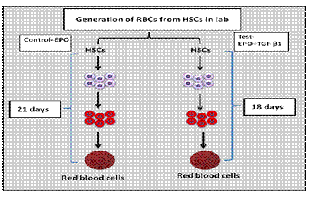 red blood cells generation