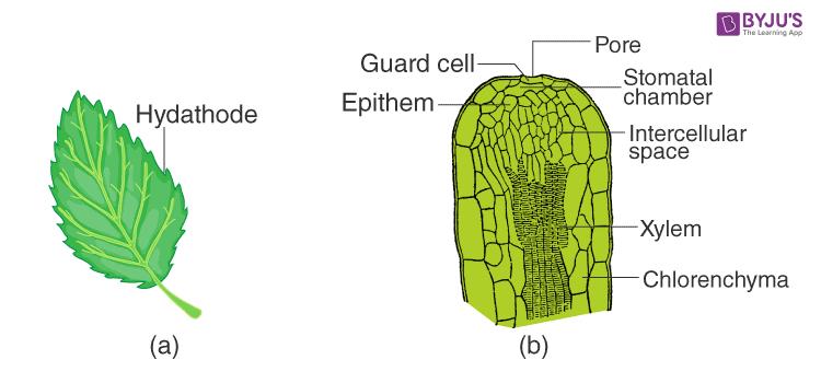 Mechanism of Guttation