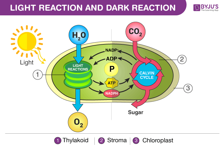 Diagram Light and Dark Reaction in Photosynthesis