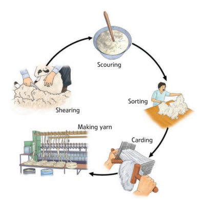 Extraction of Wool from Sheep Step by Step