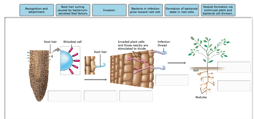 Mechanism of Bacterial infection and nodulation