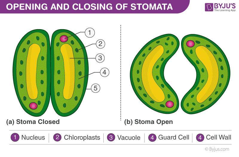 Opening and closing of stomata
