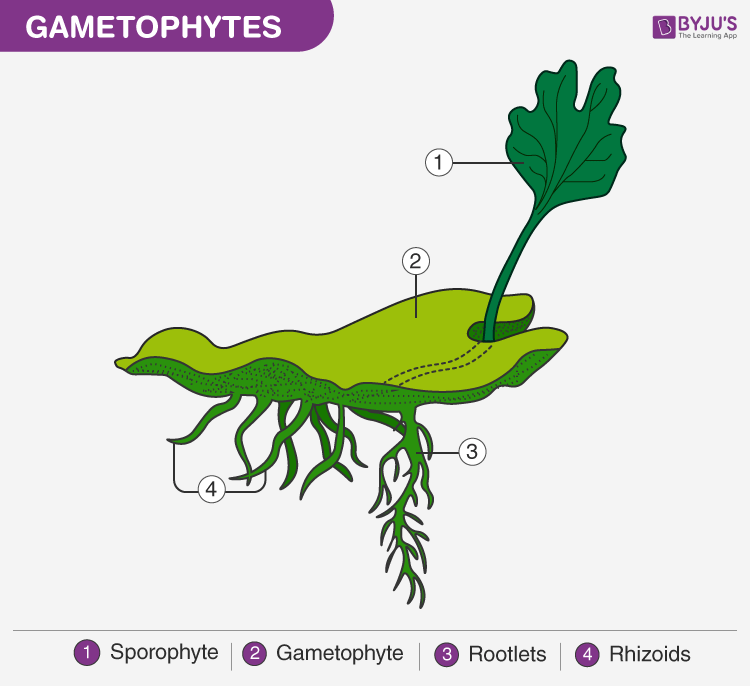 Structure of a Gametophytes