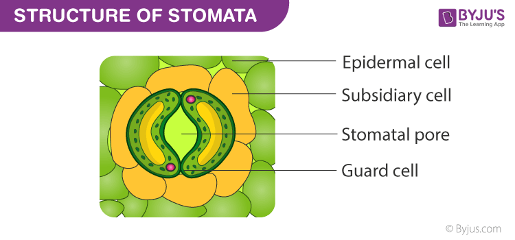 Structure of a Stomata
