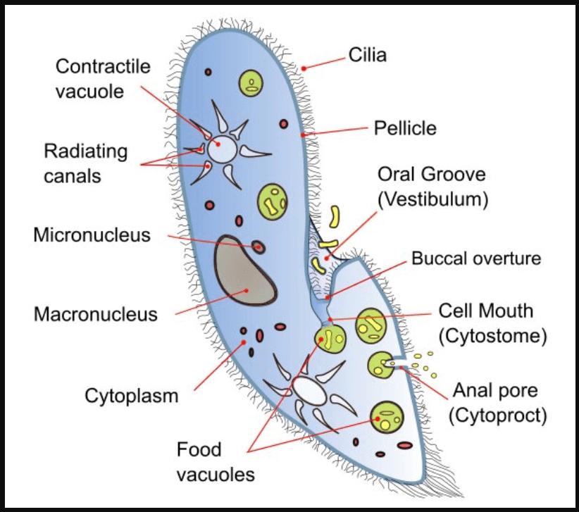 Structure of Paramocieum