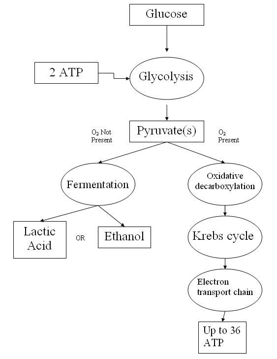 The schematic representation of glycolysis