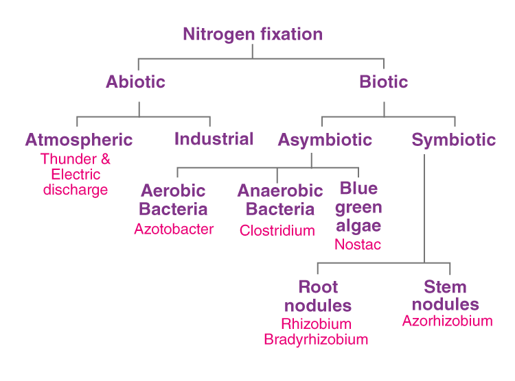Stages of Nitrogen Fixation