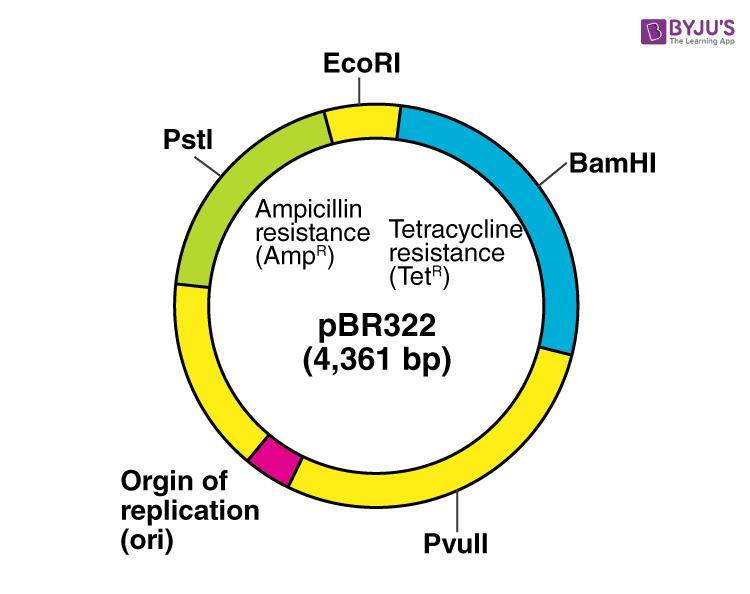 PBR 322 plasmid