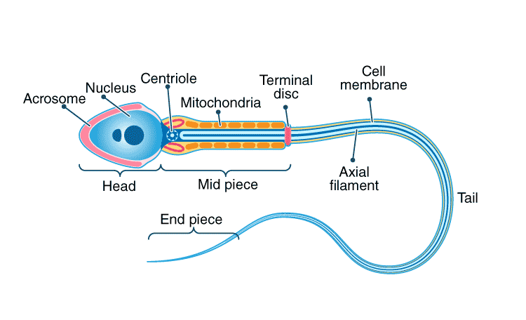 Structure of Human Sperm