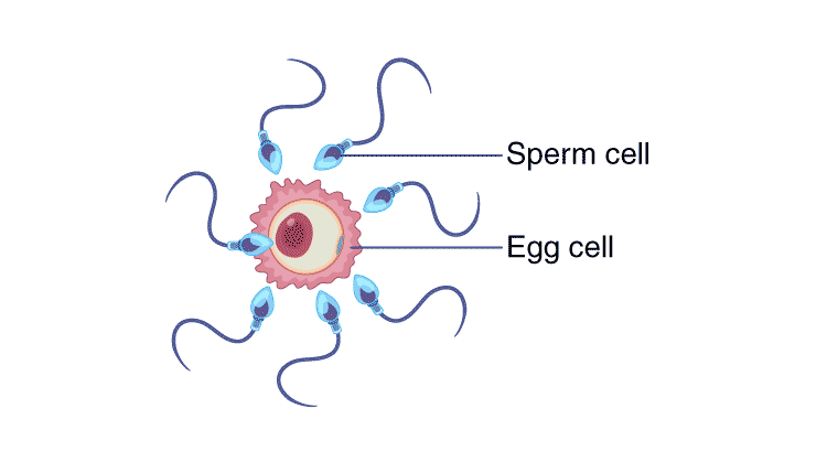 The entry of the sperm into the ovum