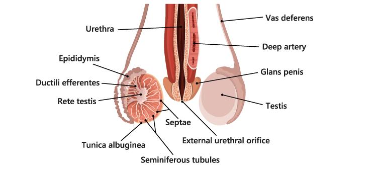 Testis in Male