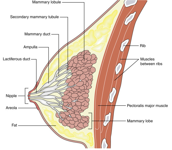 Structure of Mammary glands
