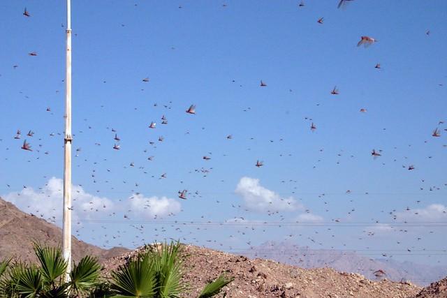 Locusts Swarms - UPSC Current Affairs