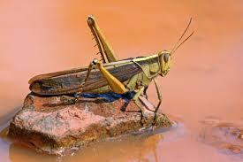 Locusts - UPSC Current Affairs