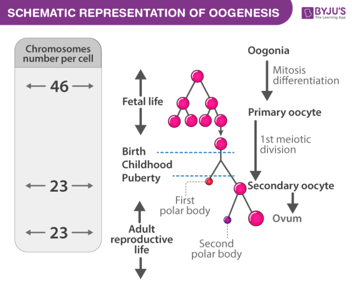 Schematic diagram of Oogenesis