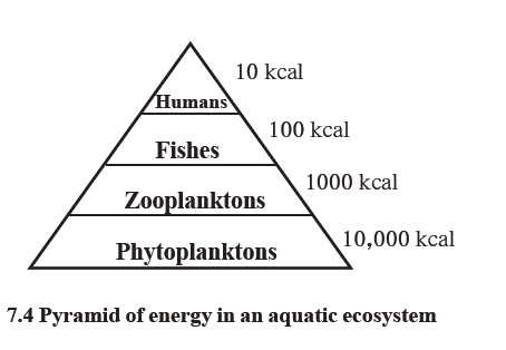 pyramid of energy in an aquatic ecosystem