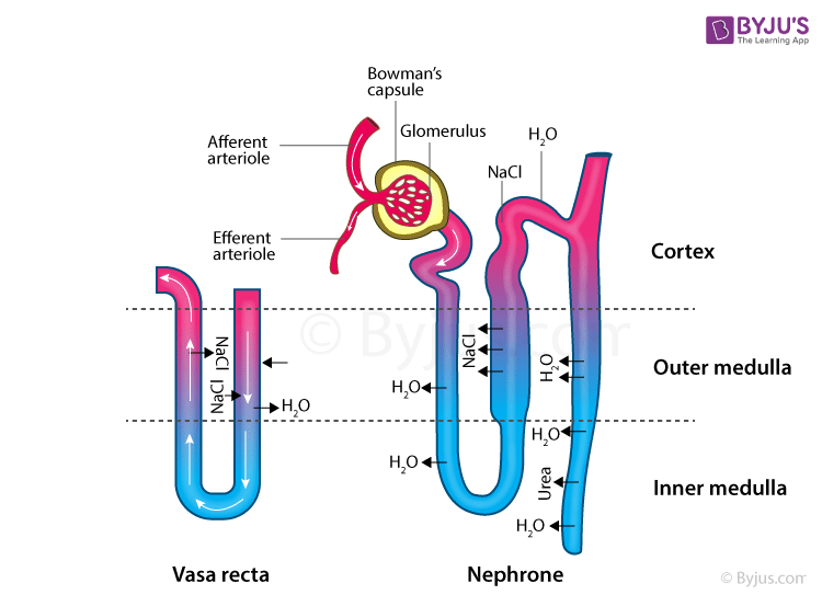The Structure of Nephrons
