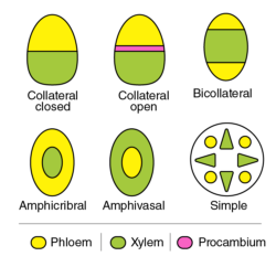Different types of vascular bundles found in the plants