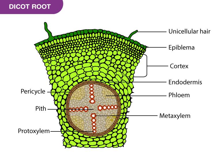 Dicot Root