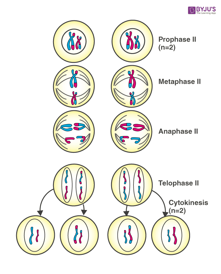 NCERT Exemplar Solutions of Class 11 Biology Chapter 10 Cell Cycle and Cell Division-1