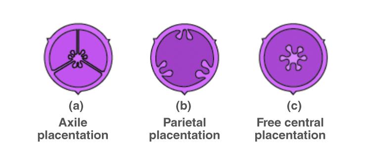 NCERT Exemplar Solutions of Class 11 Biology Chapter 5 Morphology of Flowering Plants-9