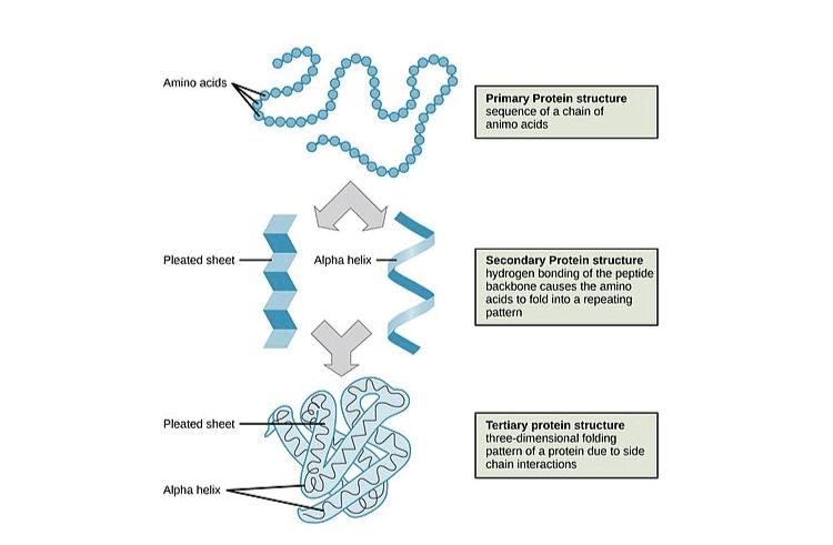 NCERT Exemplar Solutions of Class 11 Biology Chapter 9 Biomolecules-2