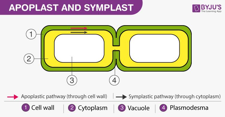 Apoplast and Symplast