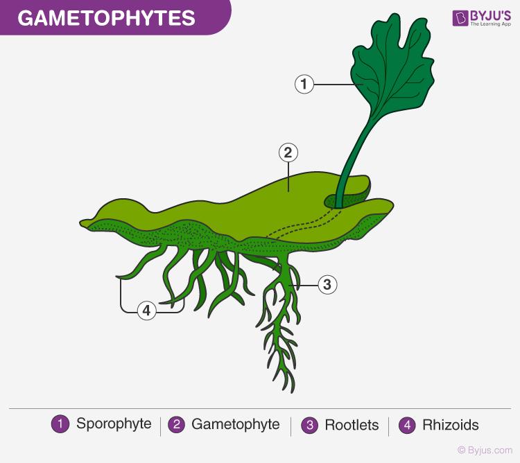 Gametophytes