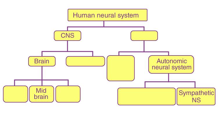 NCERT Exemplar Solution of Class 11 Biology Chapter 21 Neural Control and Coordination-2