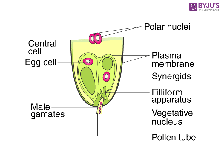 NCERT Exemplar Solution of Class 12 Biology Chapter 2 Sexual Reproduction in Flowering Plants-6