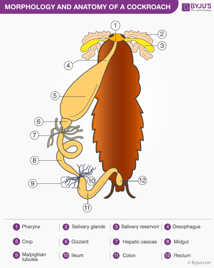 Morphology and Anatomy of a Cockroach