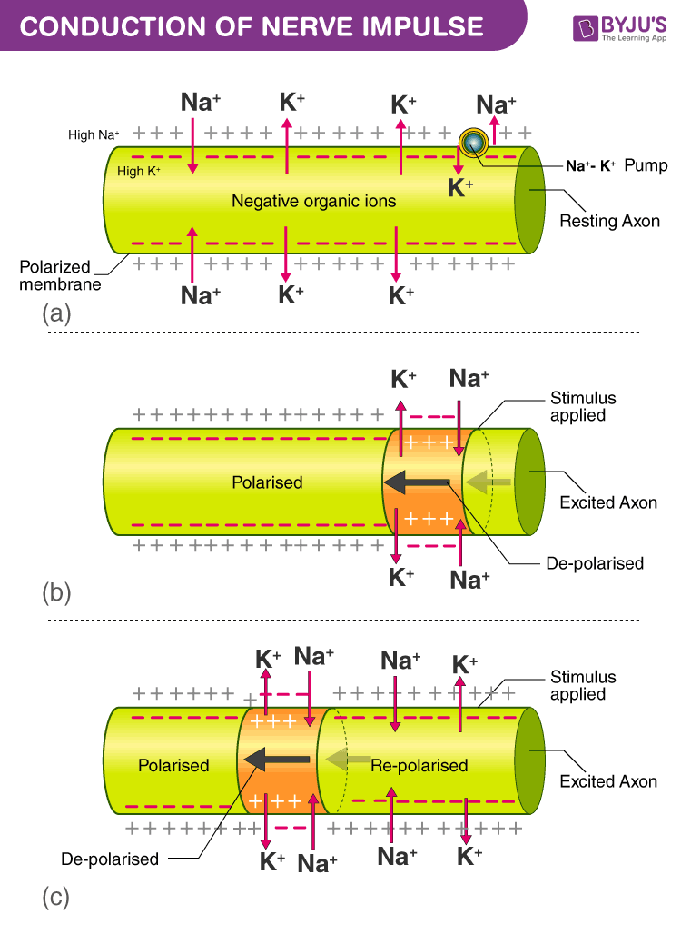 Conduction of Nerve Impulse