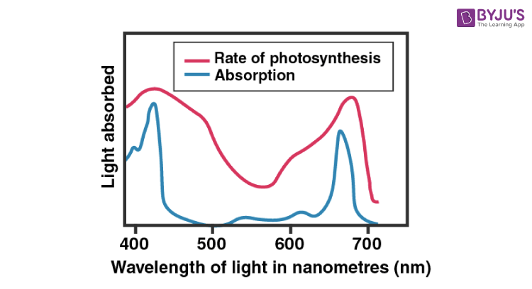 Absorption Spectrum of Chlorophyll and Rate of Photosynthesis