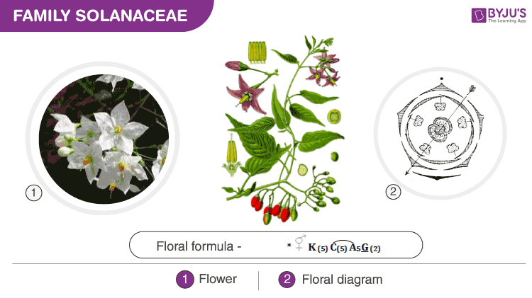 Floral formula and floral diagram of Solanaceae family
