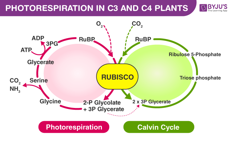 Photorespiration in C3 and C4 Plants