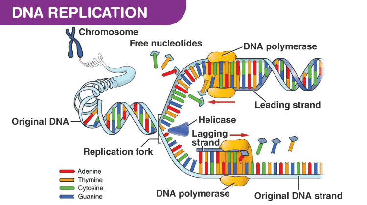 DNA Replication by DNA polymerase
