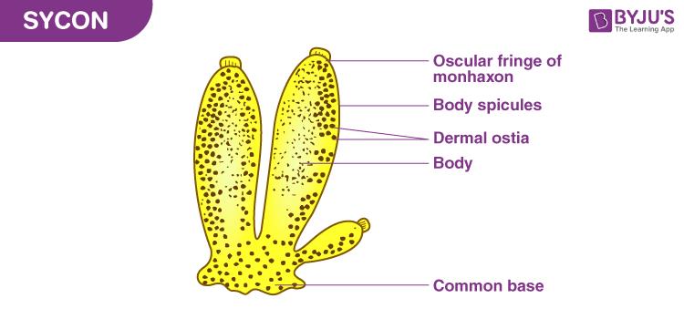 Sycon Diagram