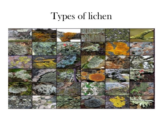 Types of Lichens