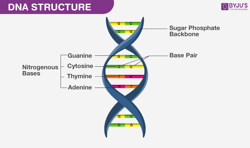 Structure of a DNA
