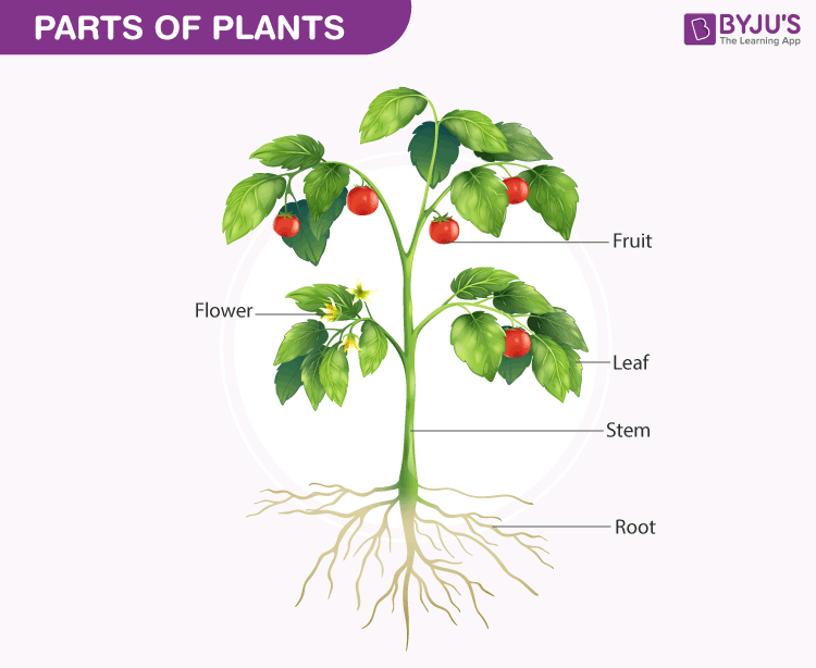 What Is The Most Important Part Of A Plant? - BYJU'S
