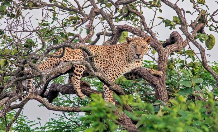 Indian Leopard - UPSC Environment and Ecology
